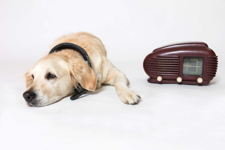 老犬にラジオを聞かせる