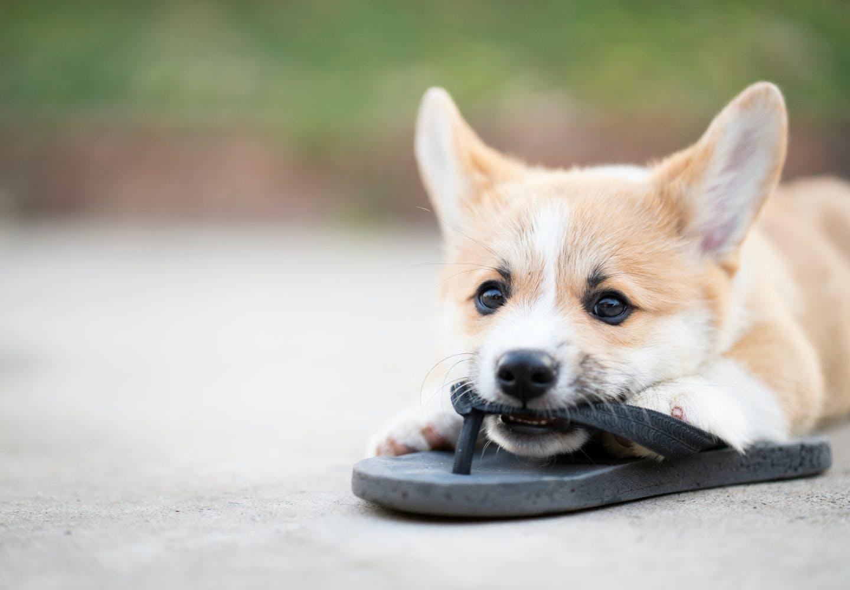 【獣医師監修】犬が甘噛みする理由とは?直し方やしつけのコツ、噛まれたときのNG行動などについて解説