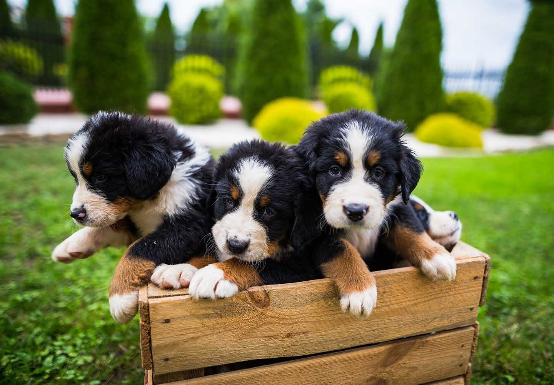 バーニーズ・マウンテン・ドッグはどんな犬?性格・特徴・飼いやすさ、しつけのコツやかかりやすい病気などについて解説_3匹の犬