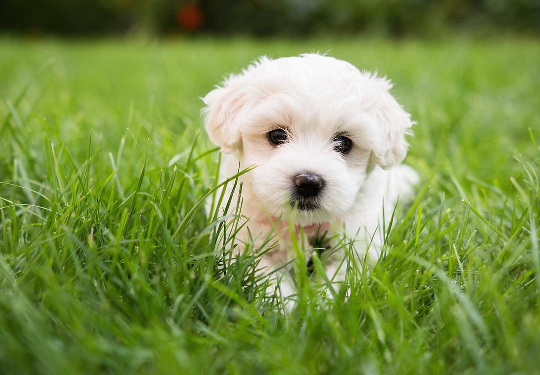 【獣医師監修】マルチーズはどんな犬?性格・特徴・飼いやすさやしつけのコツ、かかりやすい病気や平均寿命などについて解説