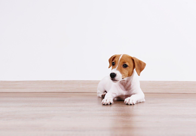 【獣医師監修】犬がフローリングで快適に過ごすためのコツとは?滑り止め対策や注意点などについて解説