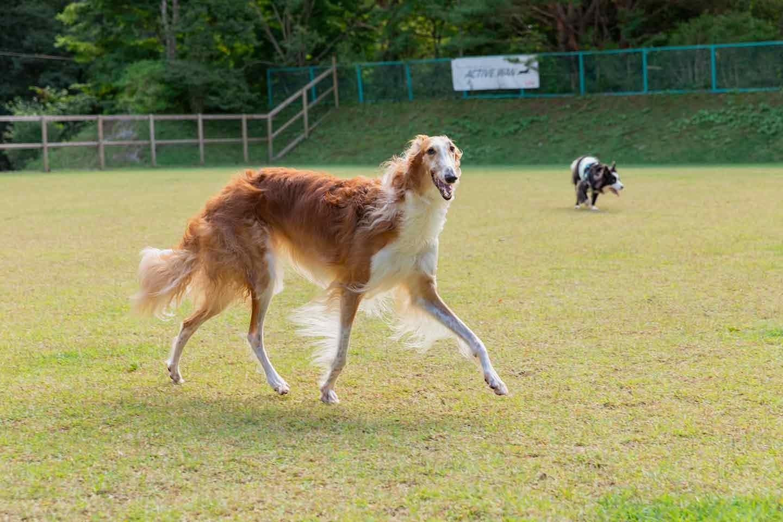 那須フォレストヒルズ 体験レポート ドッグラン 走る犬