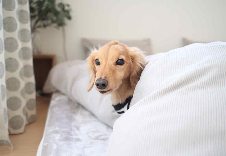 愛犬との寝室 快適そうなダックスフント