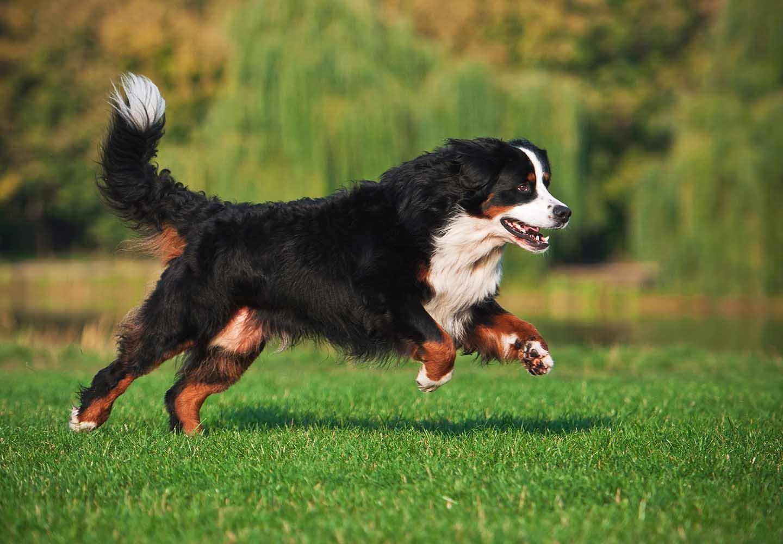 バーニーズ・マウンテン・ドッグはどんな犬?性格・特徴・飼いやすさ、しつけのコツやかかりやすい病気などについて解説_走る犬