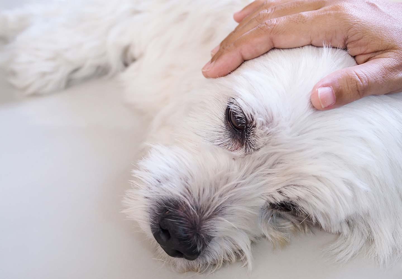 犬の平熱は何度?上手に体温を測る方法や低体温・高熱のときの対処法などについて解説_撫でられている犬