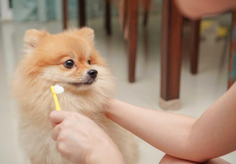 犬にも虫歯はある?治療法や予防のためのケア、その他にも注意したい口の中のトラブルについて解説_歯みがき前の犬