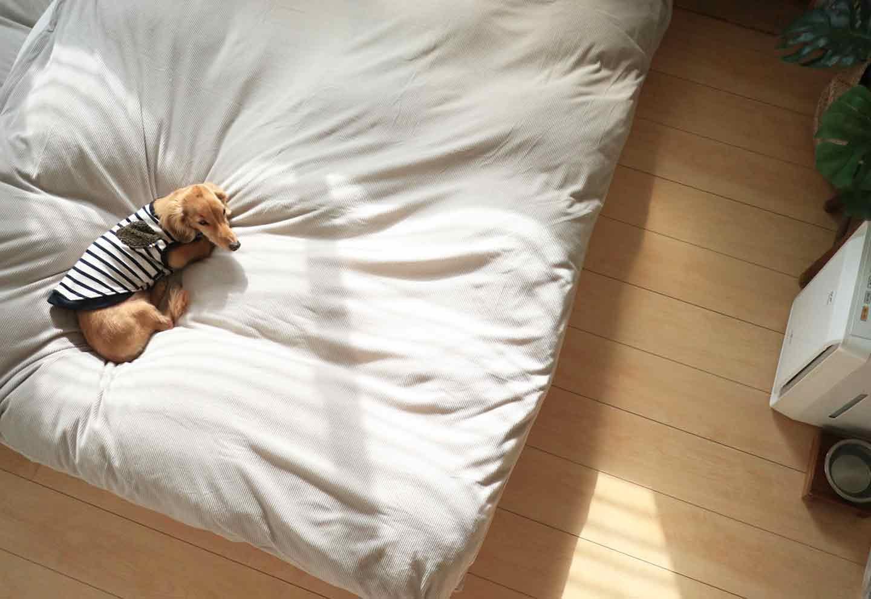 愛犬との寝室 低いベッド ヘルニア