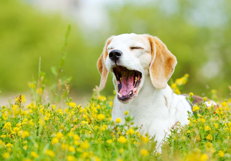 犬のあくびの理由は?_あくびする犬