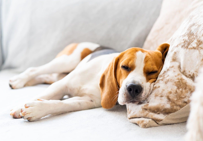 犬にネギが危険な理由とは?中毒症状や誤食したときの対処法、食べないようにするための予防策などについて解説_くつろぐ犬