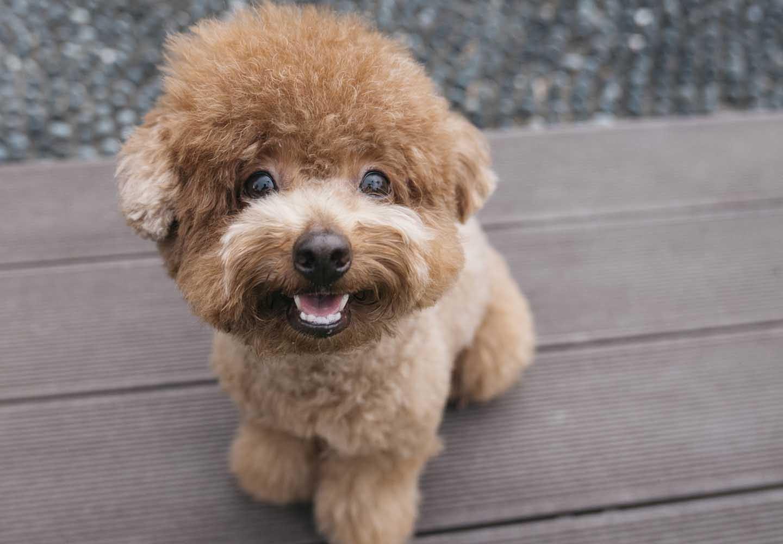 トイ・プードルはどんな犬?性格・特徴・飼いやすさやしつけのコツ、かかりやすい病気などについて解説