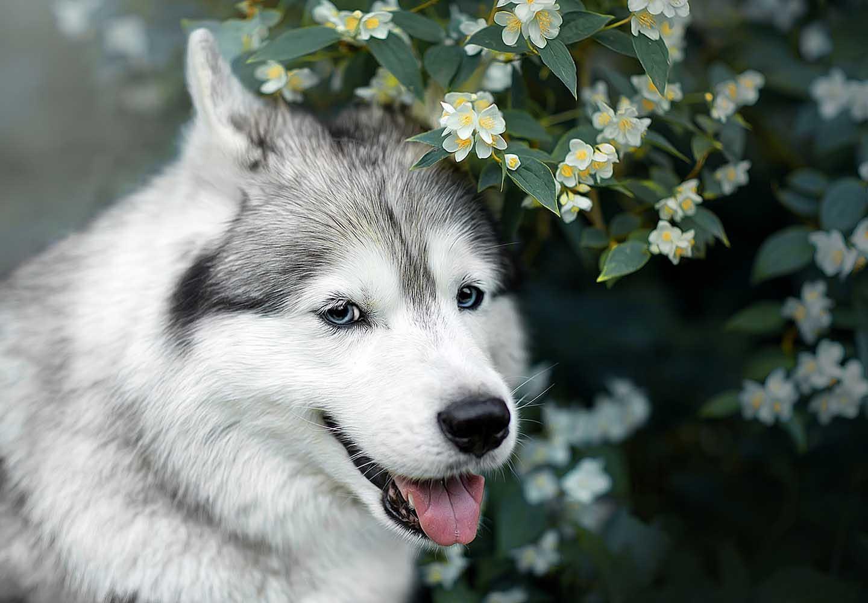 シベリアン・ハスキーはどんな犬?_シベリアン・ハスキー