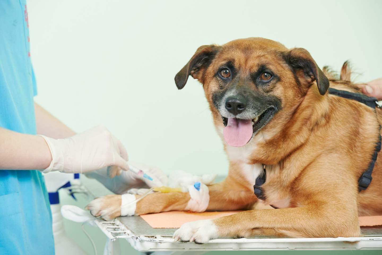 【獣医師慣習】犬にも血液型があるの?分類方法や輸血の時の注意点について解説