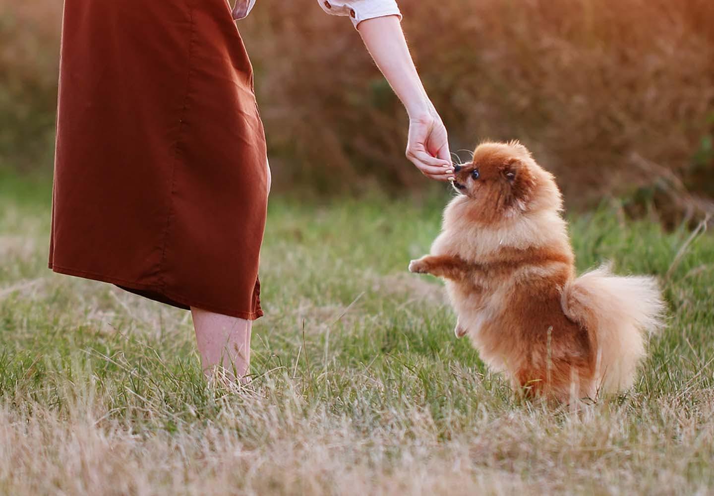 ポメラニアンはどんな犬?性格・特徴・飼いやすさやしつけのコツ、かかりやすい病気や平均寿命についても解説_ポメラニアン