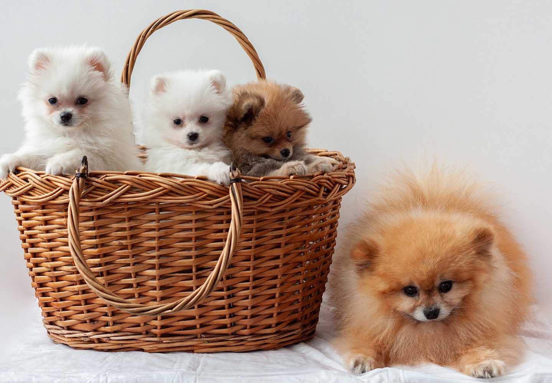 ポメラニアンはどんな犬?性格・特徴・飼いやすさやしつけのコツ、かかりやすい病気や平均寿命についても解説_走るポメラニアン