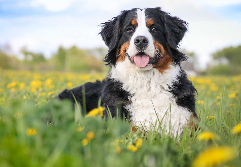 【獣医師監修】バーニーズ・マウンテン・ドッグはどんな犬?性格・特徴・飼いやすさ、しつけのコツやかかりやすい病気などについて解説