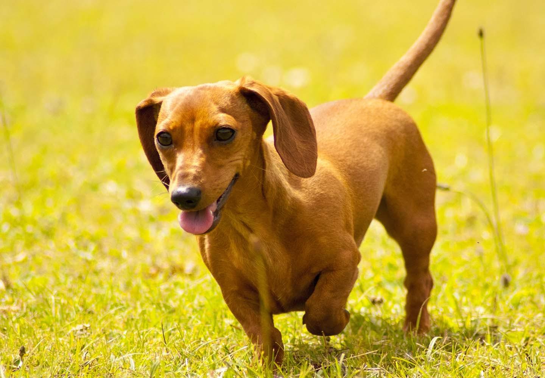 ミニチュア・ダックスフンドはどんな犬?性格・特徴・飼いやすさやしつけのコツ、かりやすい病気などについて解説