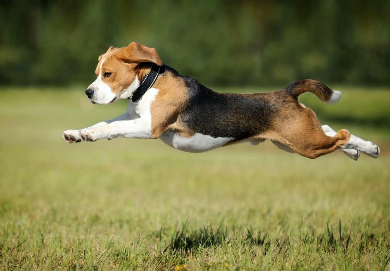 【獣医師監修】犬の骨格ってどうなっているの?人間との違いや特徴、犬種ごとの差などについて解説