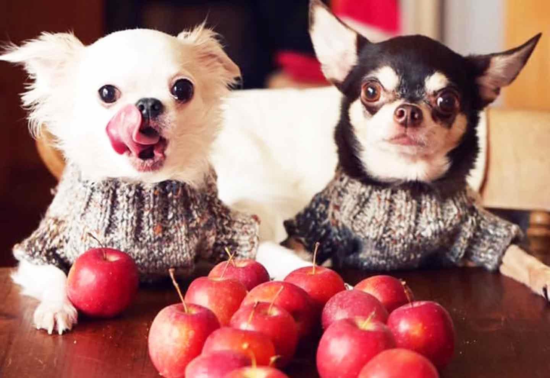 愛犬手作りごはんレシピ りんご チワワ