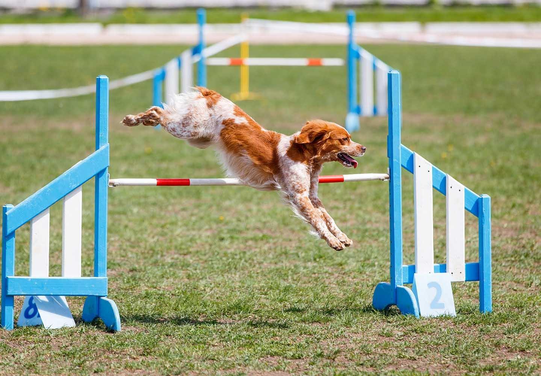 愛犬との絆が深まるドッグスポーツとは?メリットや代表的な4種類の競技について解説_ドッグスポーツをする犬