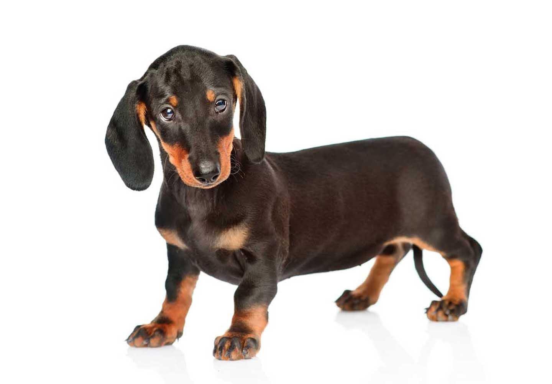 【獣医師監修】ミニチュア・ダックスフンドはどんな犬?性格・特徴・飼いやすさやしつけのコツ、かりやすい病気などについて解説