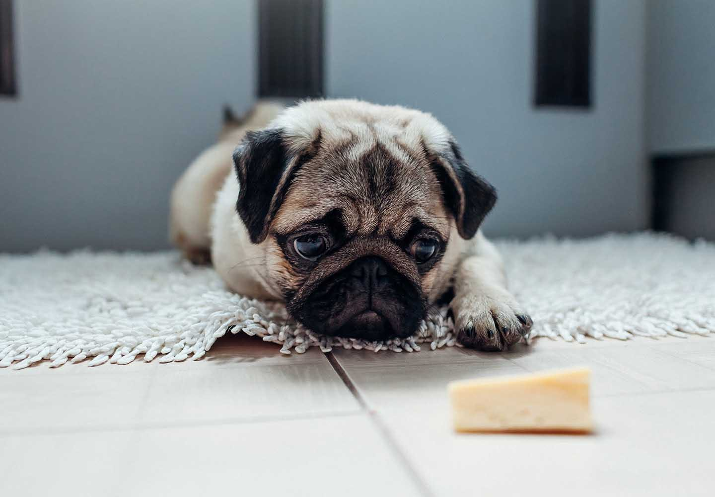 【獣医師監修】犬に人間用のチーズをあげても大丈夫?適量やおすすめの種類、アレルギーや塩分などの注意点について解説_チーズを見つめる犬