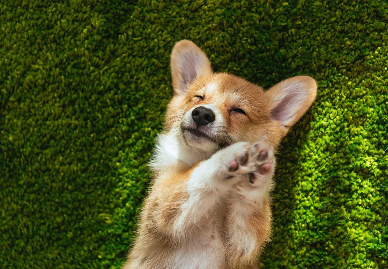 【獣医師監修】コーギーはどんな犬?性格・特徴・飼いやすさ、しつけのコツやかかりやすい病気などについて解説
