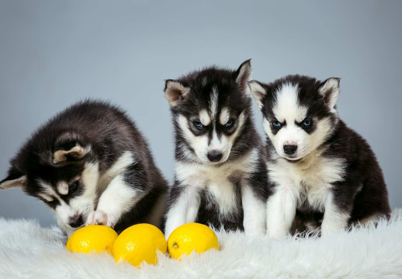 【獣医師監修】犬にレモンをあげても大丈夫?メリットやおすすめの与え方、注意点などについて解説