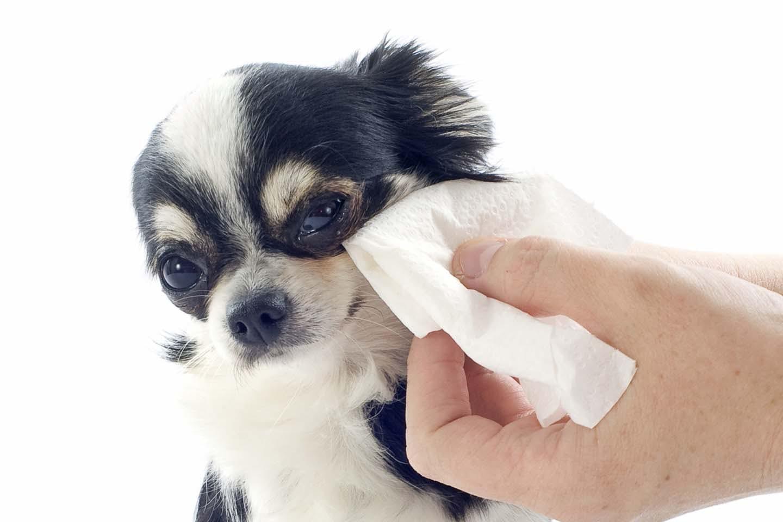 犬の目元を拭く