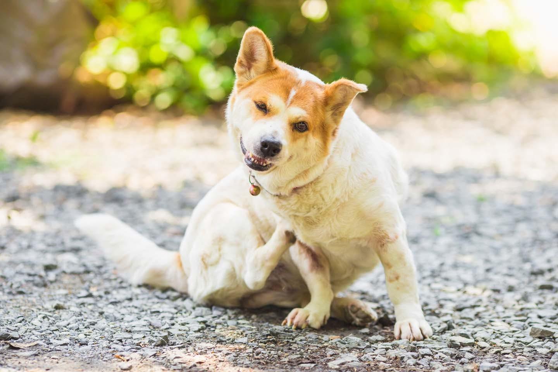 【獣医師監修】犬の皮膚病の症状とは?原因と対処法、日常生活での予防策などについて解説