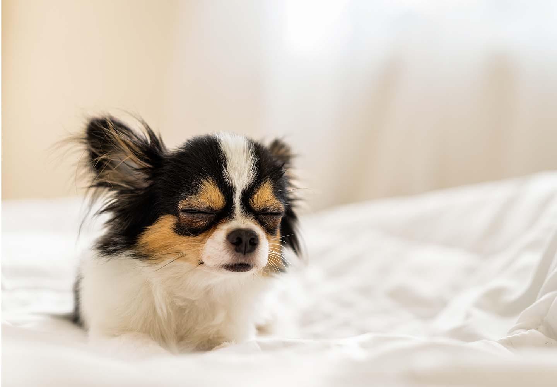 犬の湿疹は膿皮症のサイン?初期症状や原因、皮膚炎との見分け方や対処法などについて解説