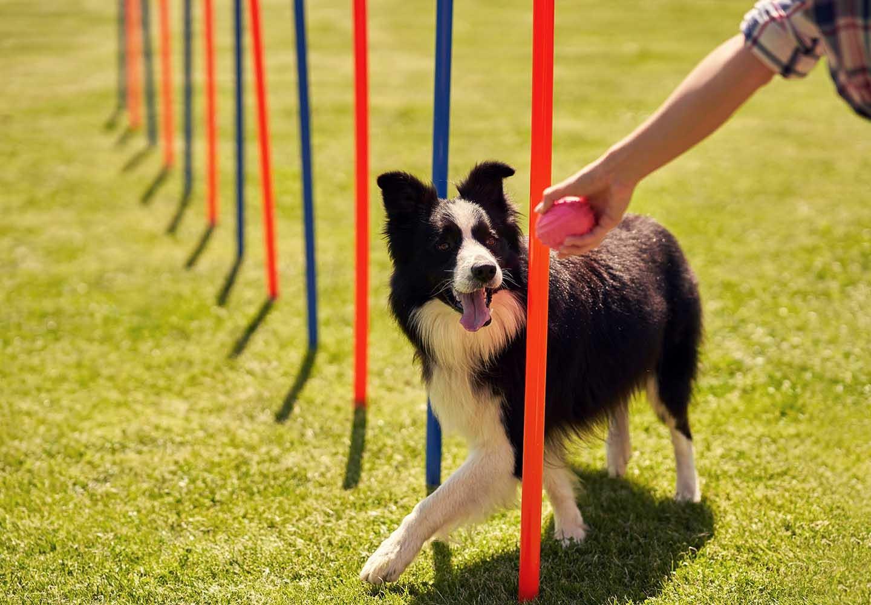 愛犬との絆が深まるドッグスポーツとは?メリットや代表的な4種類の競技について解説_導かれる犬