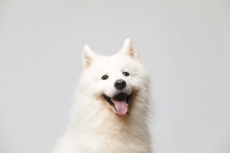 笑顔のサモエド