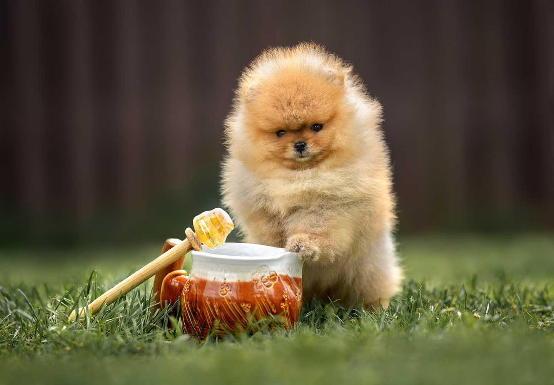 【獣医師監修】犬にはちみつを食べさせても大丈夫?与える際の注意点や健康面でのメリットを解説