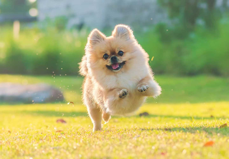 【獣医師監修】ポメラニアンはどんな犬?性格・特徴・飼いやすさやしつけのコツ、かかりやすい病気や平均寿命についても解説