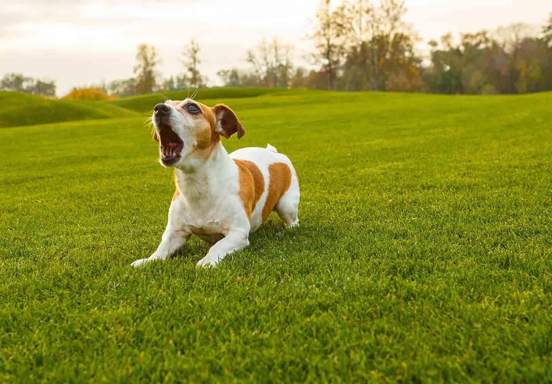 【獣医師監修】犬が吠える理由とは?原因別の対処法や吠え癖をなくすおすすめのしつけなどを解説