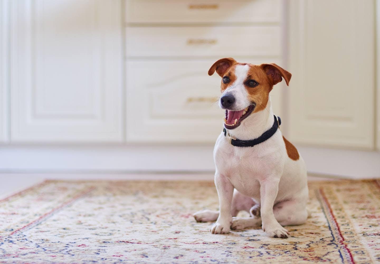 犬がフローリングで快適に過ごすためのコツとは?_犬とフローリングの床