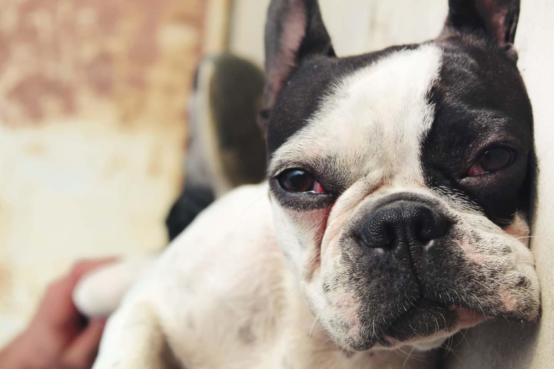 【獣医師監修】犬の涙の原因とは?考えられる病気と対処法、病院に連れていくべき症状について解説