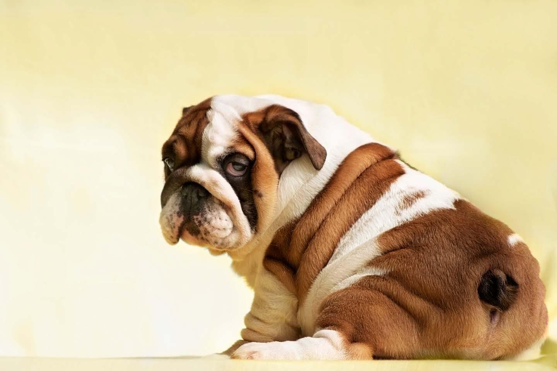 【獣医師監修】犬のおならが臭くて回数が多い?原因と対策、考えられる病気について解説