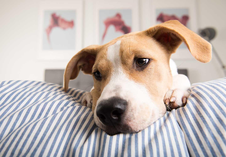 犬の平熱は何度?上手に体温を測る方法や低体温・高熱のときの対処法などについて解説_寝そべる犬