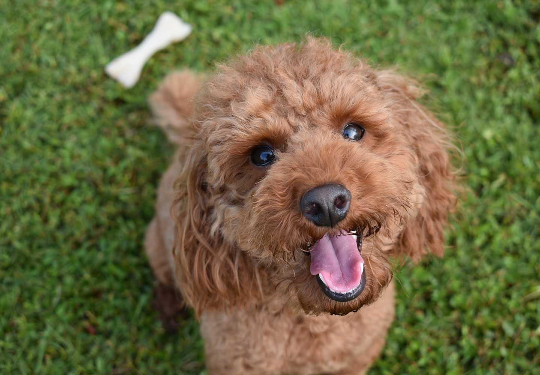 【獣医師監修】トイ・プードルはどんな犬?性格・特徴・飼いやすさやしつけのコツ、かかりやすい病気などについて解説