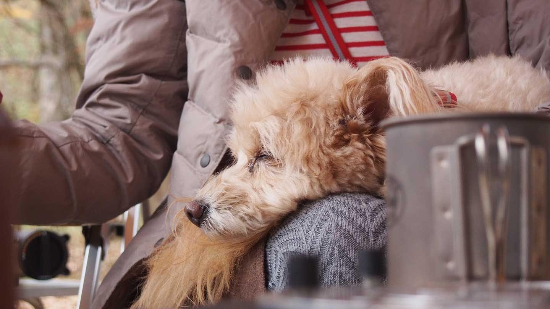 飼い主のお膝で眠る愛犬