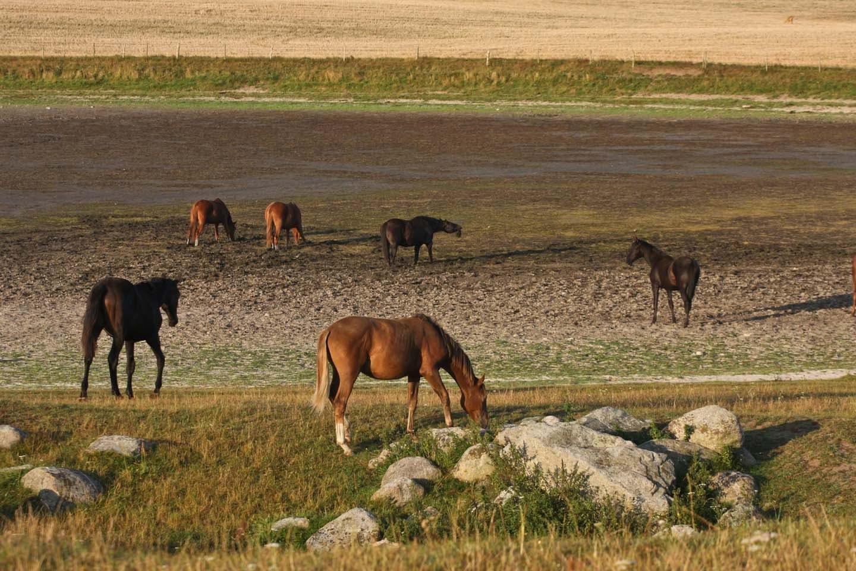 スウェーデンの馬