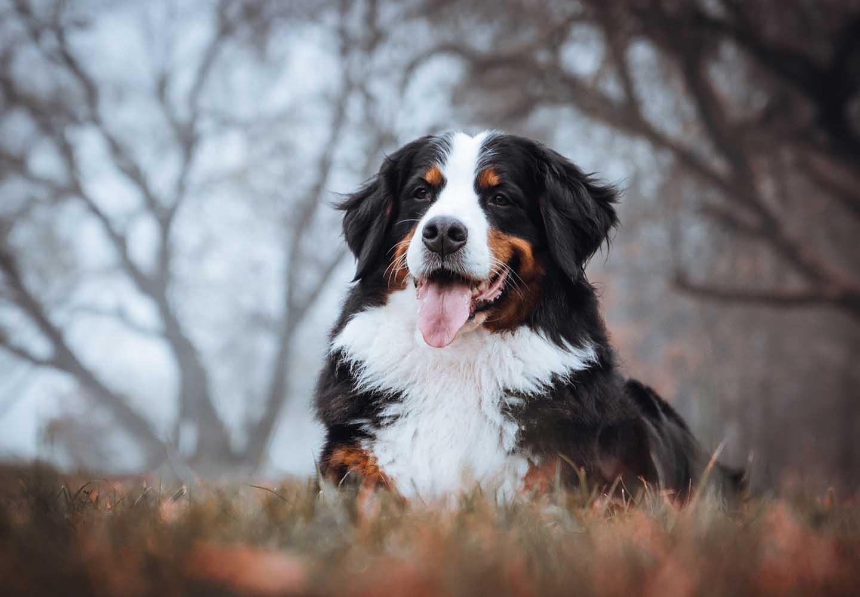 バーニーズ・マウンテン・ドッグはどんな犬?性格・特徴・飼いやすさ、しつけのコツやかかりやすい病気などについて解説_こちらを見つめる犬