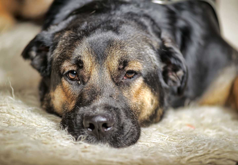 犬の心臓病の初期症状とは?早期発見のポイントや治療法、日常生活でのケアについて解説_眠たそうな犬