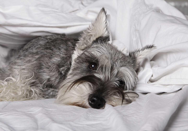 犬の心臓病の初期症状とは?早期発見のポイントや治療法、日常生活でのケアについて解説_寝ている犬