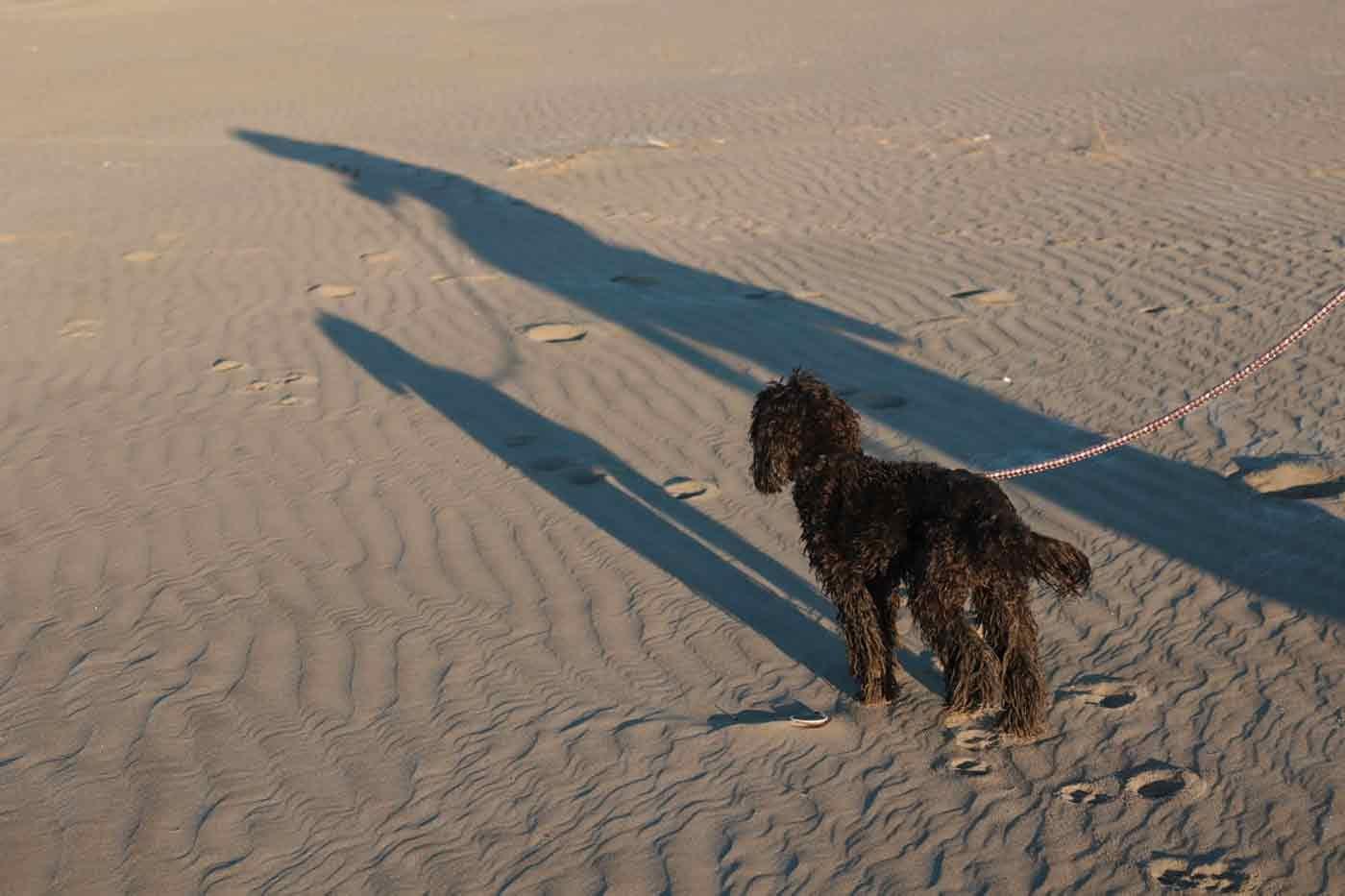 九十九里浜の海に入って濡れた愛犬
