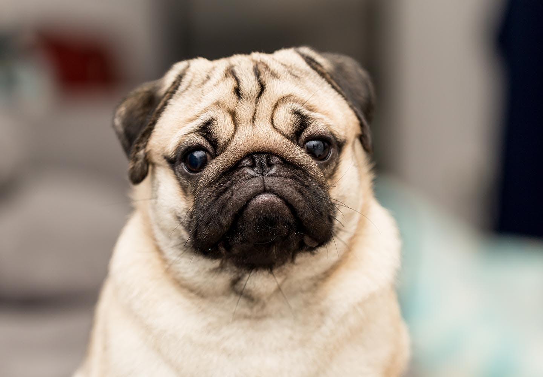 パグはどんな犬?_犬、パグ