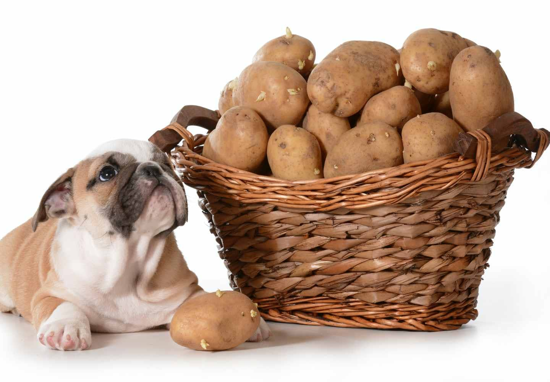 犬はじゃがいもを食べても大丈夫!芽や皮など与える際の注意点やおすすめの調理方法などを解説【獣医師監修】