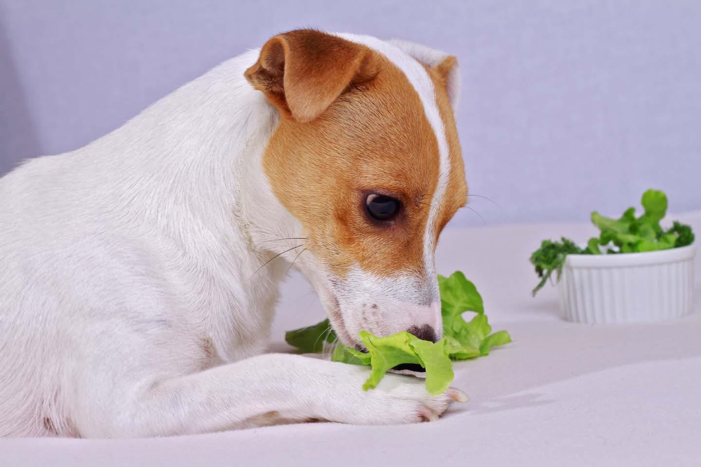 【獣医師監修】犬にレタスをあげても大丈夫?健康面でのメリットや与える量、注意点について解説