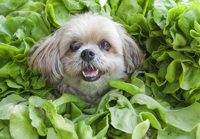 犬にほうれん草を食べさせても大丈夫?_犬、ほうれん草